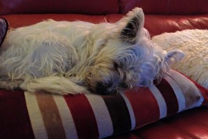 West Highland Terrier Teddy